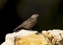 cowbird Brown-dirigido en rocas con el fondo negro Imagenes de archivo