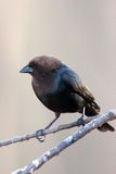Cowbird Brown-dirigido salvaje encaramado en la ramificación Fotos de archivo libres de regalías