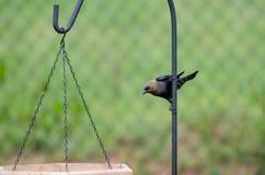 Cowbird Brownheaded на фидерах птицы стоковое изображение rf