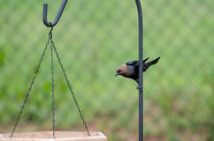 Cowbird de Brownheaded en los alimentadores del pájaro Imagen de archivo libre de regalías