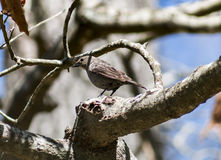 Cowbird fêmea & x28; 3& x29; Fotos de Stock