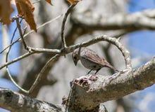 Cowbird fêmea & x28; 2& x29; Imagens de Stock