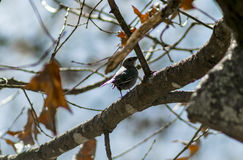 Cowbird fêmea & x28; 1& x29; Foto de Stock