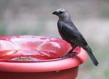 Cowbird femelle sur le bain d'oiseau photo stock