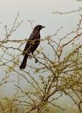 Cowbird lucido immagini stock