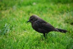 Cowbird-nahes hohes stockbilder