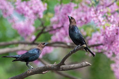Cowbird Stretch. A brown-headed cowbird stretches in a pink redbud tree while another bird looks on stock photography