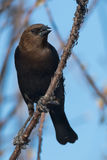 cowbird z brown Fotografia Royalty Free