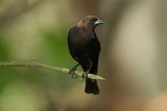 cowbird z brown obrazy stock
