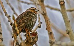 cowbird z brown Zdjęcia Royalty Free