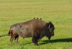 Cowbirds étés perché sur un bison de retour Image stock