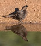 Female Bronze Cowbird drinking water. Cowbirds are birds belonging to the genus Molothrus in the family Icteridae. They are of New World origin. They are brood Royalty Free Stock Photos