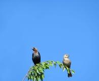 Cowbirds, mâle et femelle, sur une branche Photo stock