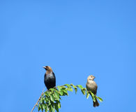 Cowbirds, male and female, on a branch Stock Photo
