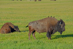 Cowbirds perched on a Bison's back. Royalty Free Stock Image