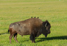 Cowbirds perched on a Bison's back. Stock Image