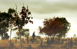 Cowboy in Australian outback. Scenic view of mounted cowboy with herd of cattle in Australian outback Royalty Free Stock Photos