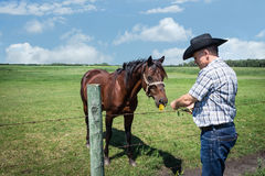 Cowboy in black cowboy hat hand feeding a plat to his brown horse. Stock Photography