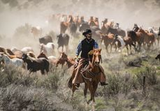 Cowboy with black hat and sorrel horse leading horse herd at a gallop. On annual Sombrero Ranch horse drive Stock Images