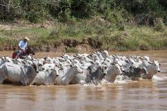 Cowboy brésilien avec des vaches image stock