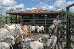 Cowboy brasiliano di un'azienda agricola fotografia stock