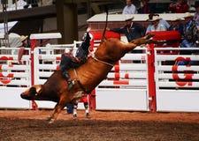Cowboy Bullriding på rodeon Royaltyfria Bilder