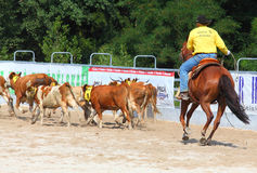 The Cowboy in a Calf roping competition. Royalty Free Stock Photo