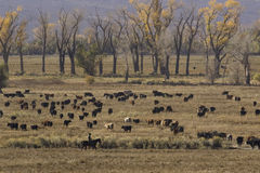 Cowboy and cattle. Cowboy rounding up cattle in the Owens Valley California Stock Image