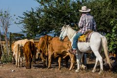 Cowboy with cattle stock photos