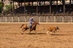 Cowboy Chasing Calf bij Roping-Concurrentie in Zuid-Dakota stock fotografie