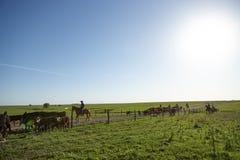 Cowboy che raduna un gregge dei bovini da carne neri Fotografia Stock Libera da Diritti
