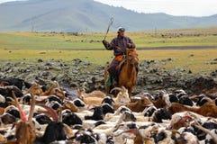 Cowboy che spinge gregge delle capre in Mongolia fotografie stock libere da diritti