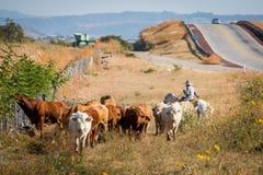 Cowboy con il bestiame Fotografia Stock