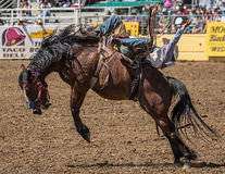 Cowboy del rodeo sul cattivo momento di A Immagini Stock