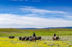 Cowboy, der Vieh in Herden lebt Lizenzfreie Stockbilder