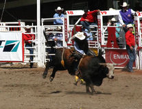 Cowboy die een wilde stier probeert te berijden, stock fotografie