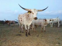 Cowboy die longhorn werken stock foto's