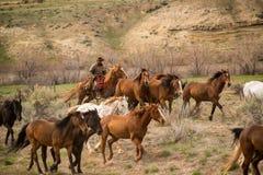 Cowboy die omhoog kudde van paarden in verzameling ruzie maken stock foto