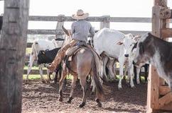 Cowboy dirigeant des bétail sur le corral du ` s de ferme photo stock