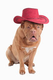 Cowboy dog Stock Photos