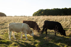 Cowboy dream. Cows eating grass on the sunset is cowboys dream Royalty Free Stock Photos