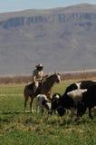 Cowboy e mucche di pascolo Fotografia Stock