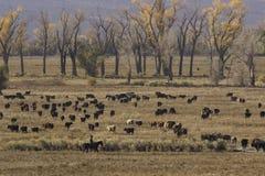 Cowboy en vee stock afbeelding