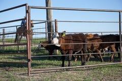 Cowboy för hästryggridning som samlas nötkreatur royaltyfri fotografi