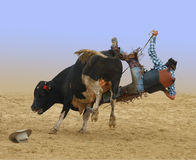 Cowboy Falling of a Bull Stock Images