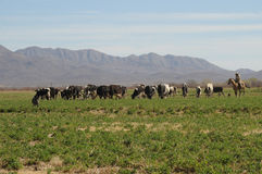 Cowboy and grazing cows Stock Image