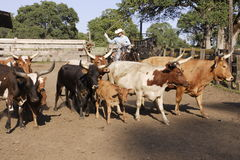 Cowboy Herding Cattle. Cowboy with lasso herding cattle into corral Stock Photo