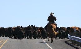 Cowboy Herding Cows Arkivbild