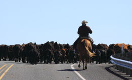 Cowboy Herding Cows Stock Photography