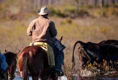 Cowboy herds his cattle through marshland Stock Photography